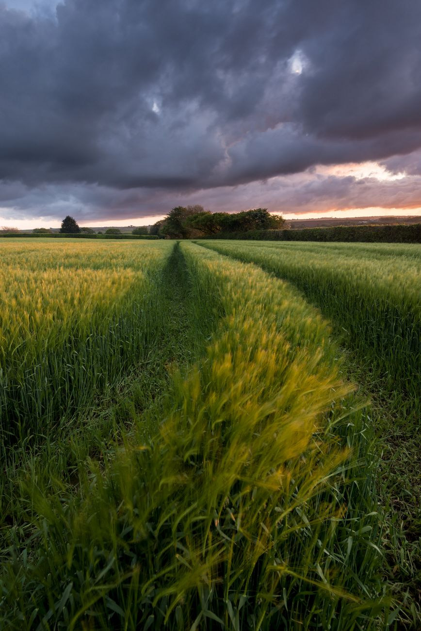 Photograph of barley field in evening light